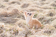 Chihuahua που εγκαθιστά και που περιμένει να πάρει κάτι Βλαστός υπαίθριος μέσα Στοκ εικόνα με δικαίωμα ελεύθερης χρήσης