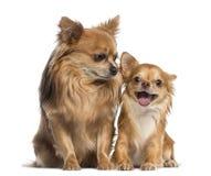 Chihuahua που κάθεται και που κοιτάζει σε ένα ευτυχές chihuahua Στοκ εικόνα με δικαίωμα ελεύθερης χρήσης