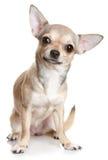 chihuahua που κάθεται κατακόρυφ& Στοκ Εικόνα