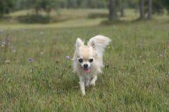 Chihuahua που περπατά έξω στη χλόη Στοκ φωτογραφία με δικαίωμα ελεύθερης χρήσης
