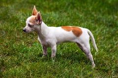 Chihuahua που στέκεται στη χλόη Στοκ Φωτογραφίες