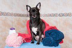 Chihuahua σε μια πετσέτα και ένα σαμπουάν Στοκ φωτογραφία με δικαίωμα ελεύθερης χρήσης