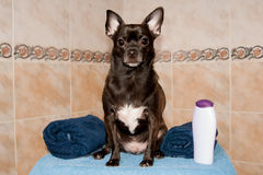 Chihuahua σε μια πετσέτα και ένα σαμπουάν Στοκ Εικόνες