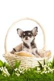 Chihuahua σκυλιών που απομονώνεται στο άσπρο υπόβαθρο στο καλάθι στην πράσινη χλόη Στοκ Φωτογραφία