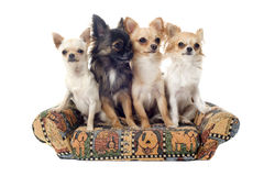 Chihuahua στον καναπέ στοκ φωτογραφία με δικαίωμα ελεύθερης χρήσης