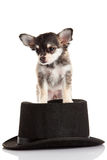 Chihuahua στο καπέλο που απομονώνεται στο άσπρο σκυλί υποβάθρου Στοκ Εικόνα