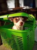 Chihuahua στο πράσινο καλάθι Στοκ Φωτογραφία