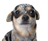 Chihuahua στο στούντιο Στοκ Εικόνες