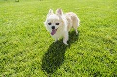 Chihuahua στο χορτοτάπητα Στοκ φωτογραφίες με δικαίωμα ελεύθερης χρήσης