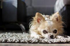 Chihuahua συνεδρίασης Στοκ Εικόνες