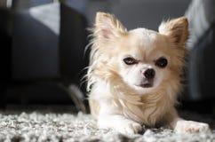 Chihuahua συνεδρίασης Στοκ Φωτογραφία