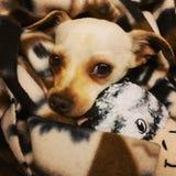 Chihuahua της Tan Στοκ φωτογραφία με δικαίωμα ελεύθερης χρήσης