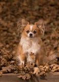 Chihuahua φθινοπώρου στοκ φωτογραφίες με δικαίωμα ελεύθερης χρήσης