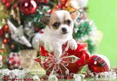 Chihuahua Χριστουγέννων Στοκ Εικόνα
