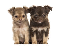 Chihuahua δύο κουταβιών, 2 μήνες καθίσματος, που απομονώνεται Στοκ Εικόνες