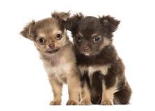 Chihuahua δύο κουταβιών, 2 μήνες καθίσματος, που απομονώνεται Στοκ φωτογραφίες με δικαίωμα ελεύθερης χρήσης