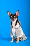 Chihuahua 08 Stock Images