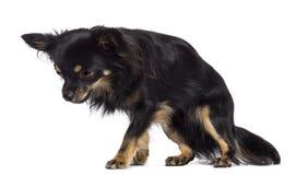 Chihuahua 1,5 gammala år Arkivfoto