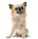 Chihuahua, 1.5 years old, sitting and looking Royalty Free Stock Photography