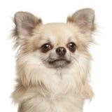Chihuahua, 1 Einjahres Lizenzfreies Stockbild