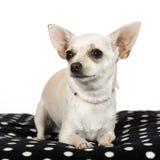 Chihuahua (1 year) Stock Photography