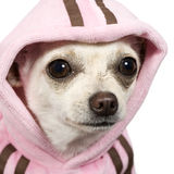 Chihuahua (1 year) Royalty Free Stock Photography
