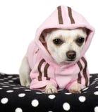 Chihuahua (1 year) Royalty Free Stock Photos