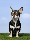 Chihuahua (1 year old) Royalty Free Stock Photo