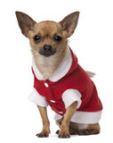 Chihuahua, 1 year old Royalty Free Stock Image
