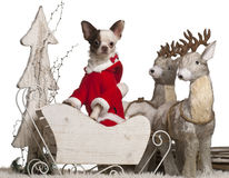 Chihuahua, 1 year old, in Christmas sleigh Stock Image