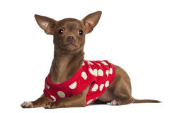 Chihuahua, 1 year old, lying Stock Images