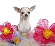 Chihuahua, 1 year old, sitting among flowers Stock Photos