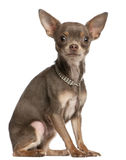 Chihuahua, 1 year old, wearing diamond collar Royalty Free Stock Photo