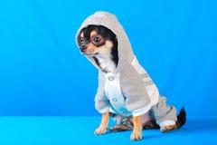 Chihuahua 10 Royalty Free Stock Image