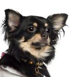 Chihuahua 10 gammala månader Arkivfoto