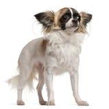 Chihuahua 10 gammala som månader sitter Arkivbilder
