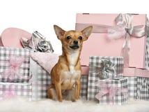 Chihuahua, 10 maanden oud, die met Kerstmis zit Royalty-vrije Stock Afbeeldingen