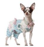 Chihuahua, 10 Monate alte, stehend Stockfoto