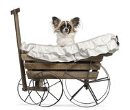 Chihuahua, 10 months old, sitting Stock Image