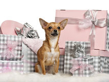 Chihuahua, 10 months old, sitting with Christmas Royalty Free Stock Images