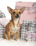 Chihuahua, 10 months old, sitting with Christmas Stock Images