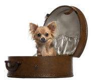 Chihuahua, 10 months old, sitting in round Stock Photography