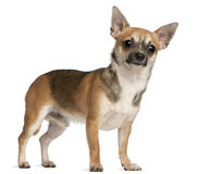 Chihuahua, 10 months old, standing Stock Image