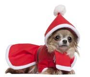 Chihuahua, 11 meses velha, no equipamento de Santa, encontrando-se Fotografia de Stock