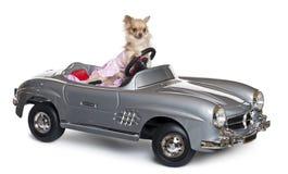 Chihuahua, 11 Monate alte, ein Kabriolett antreibend lizenzfreies stockbild