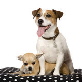 Chihuahua (11 months) and a jack russel (4 years) Royalty Free Stock Images
