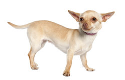 Chihuahua (11 months old) Royalty Free Stock Photography