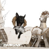 Chihuahua, 11 months old, in Christmas sleigh Stock Image