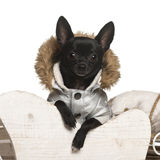 Chihuahua, 11 months old, in Christmas sleigh Royalty Free Stock Photos