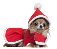 Chihuahua, 11 months old, in Santa outfit, lying Stock Photography